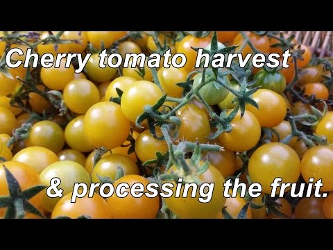 Yellow Cherry Tomato Harvest & Processing. A Tasty Little Fruit Indeed.
