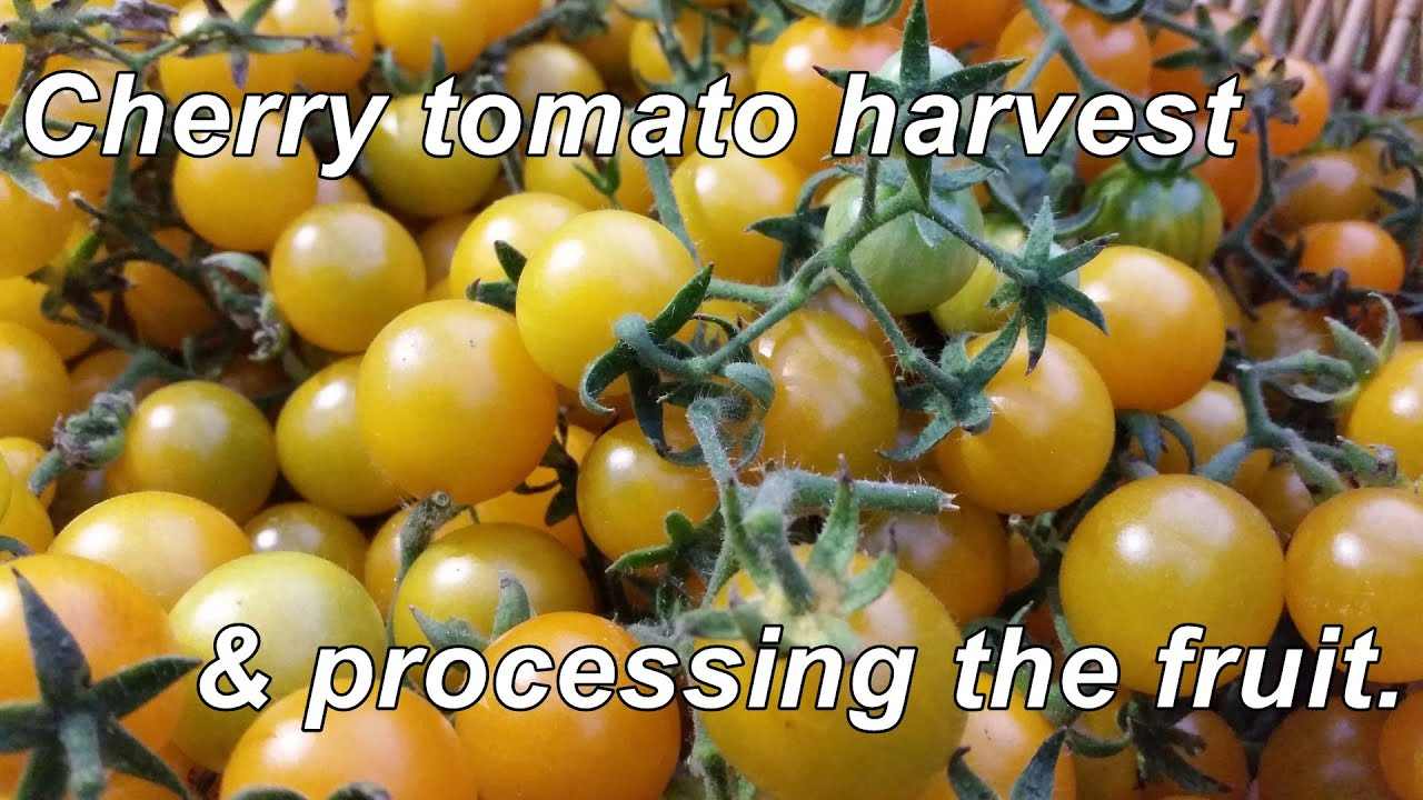 yellow cherry tomato harvest u0026 processing a tasty little fruit