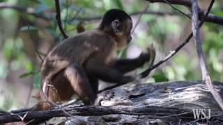 Brazilian Monkeys Have Used Stone Tools for Centuries