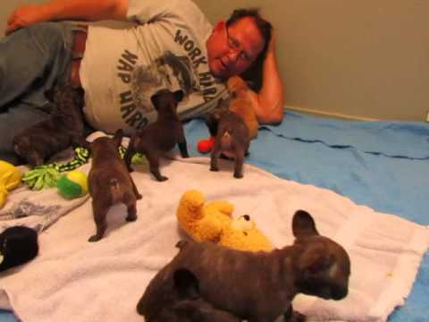French Bulldog Puppies ~ Oregon French Bulldog Breeders ~ Tasha Chocolate Puppies