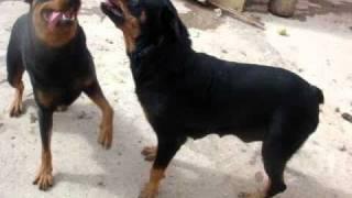 Rott Gili Oujda Lazari  Rottweiler Royal A Vendre