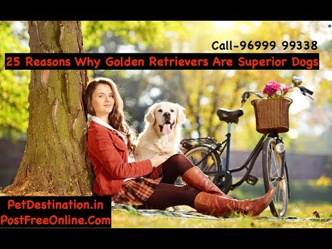 25 Reasons Why Golden Retrievers Are Superior Dogs | Call 96999 99338