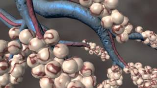 lung alveolus 3D animation