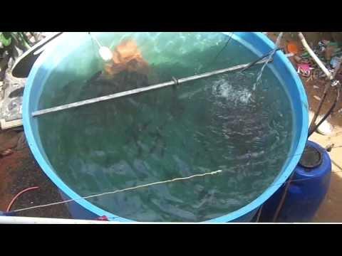 Criadero de tilapias en casa doovi for Como criar mojarras