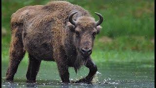 Зубр Яков. Jakov bison named. Animals in Chernobyl