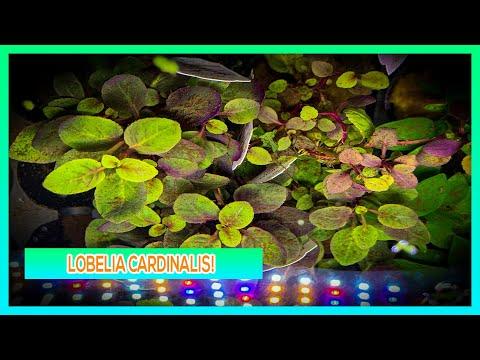 LOBELIA CARDINALIS - AQUARIUM PLANT CARE GUIDE