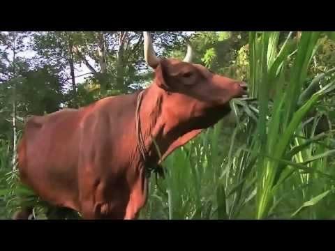 "The SMH Show-Jamaica: ""Spotting Many Heifers"", Episode 207, (Season 2)"