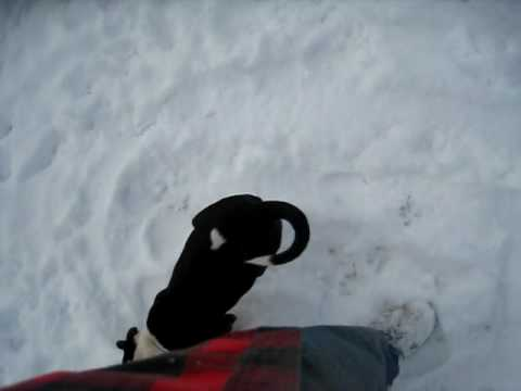 Black and White PitBull puppy with great pedigree playing in the snow