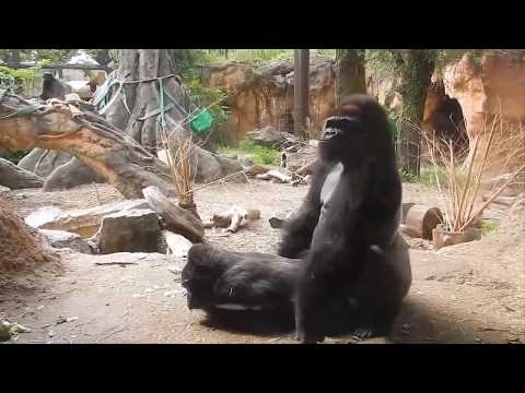 Funny Gorillas Mating   Funny Animals Mating Compilation   Gorilla Mating Like Humans Part 1