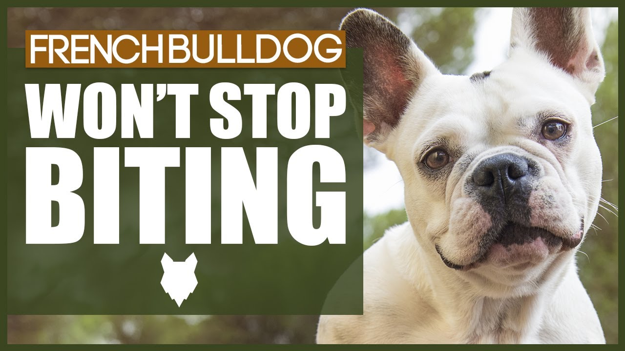 How To Stop Your FRENCH BULLDOG BITING