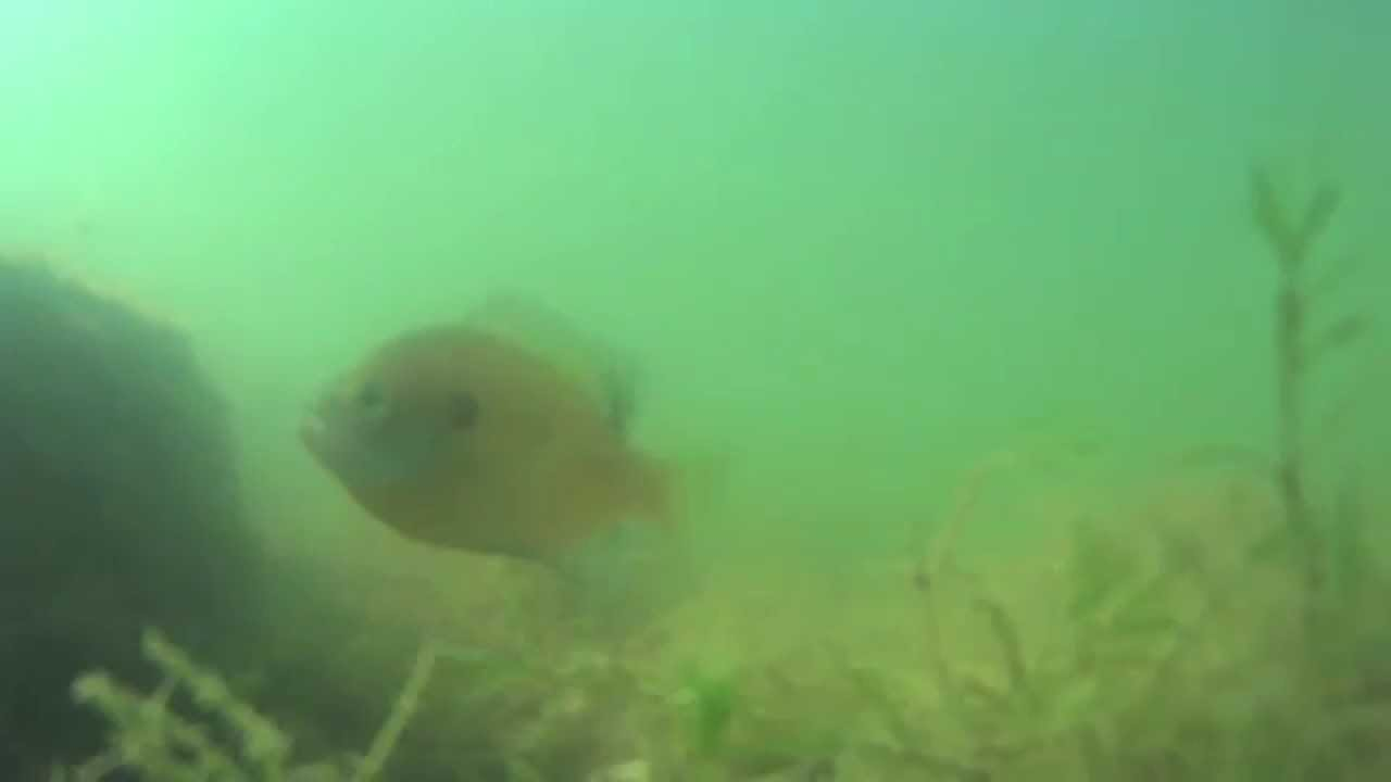 Castaic lake fishing blue gill rage on in the goooon youtube for Castaic lake fishing
