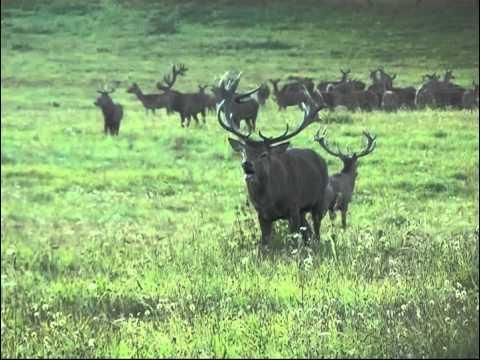 Říjiště - Videolovy - Life in nature