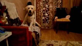 Лабрадор Вива 4 мес. весёлое видео с лабрадором nikon D3100(, 2012-02-16T08:40:01.000Z)