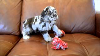 Rocco Male Chocolate Merle Cocker Spaniel Puppy For Sale