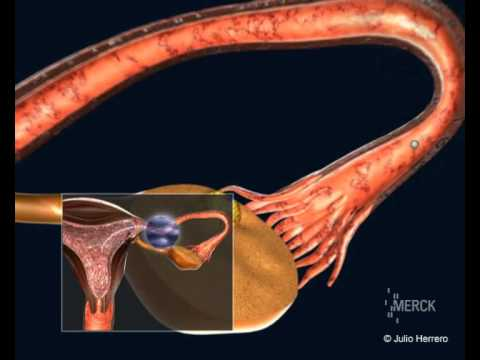 Ovulation to Conception and Fertilization of the Ovum