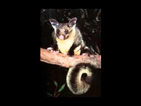 Yellow Bellied Glider Call Sherbrooke Forest Youtube