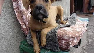Джесси. Щенок немецкий боксер. Jessie. Boxer dog.