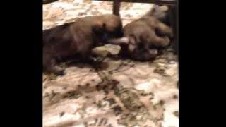 More Puppy Fun! Pug Shihtzu Mix