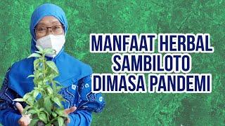 256 - Manfaat Herbal Sambiloto saat Pandemi