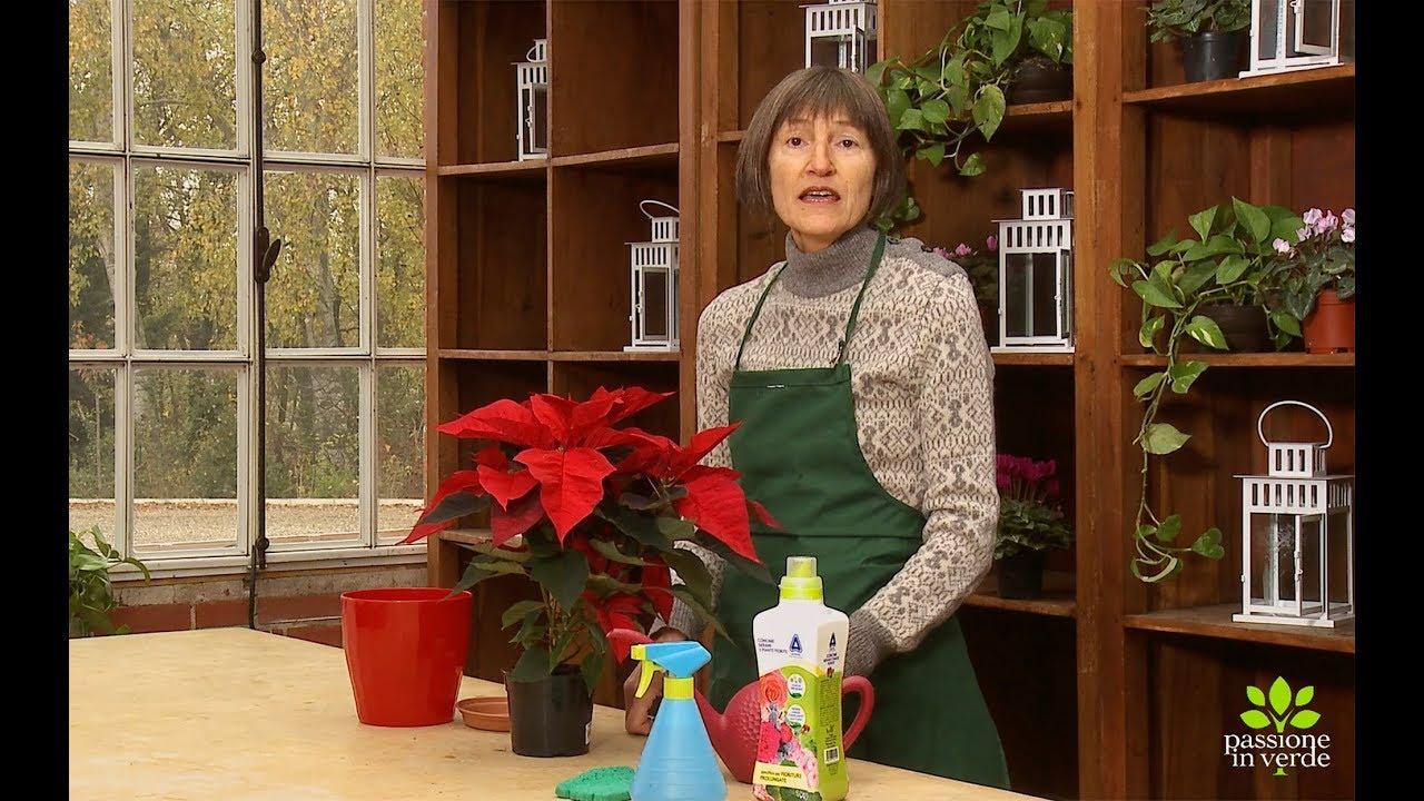 Stella Di Natale Cura E Manutenzione.Cura Delle Piante Da Appartamento Stella Di Natale