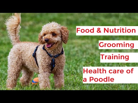 Poodle 101 - Feeding, Grooming, Exercise, Training and Health care of Poodles