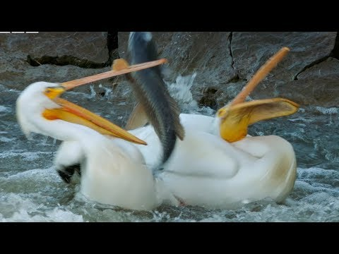 Pelican's Fishing Fail | Earth's Great Rivers | BBC Earth
