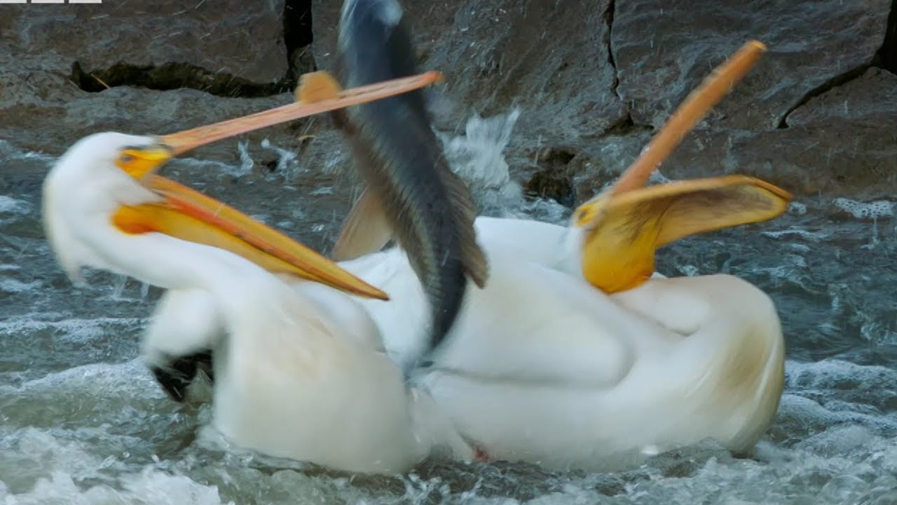 Download Pelican's Fishing Fail   Earth's Great Rivers   BBC Earth