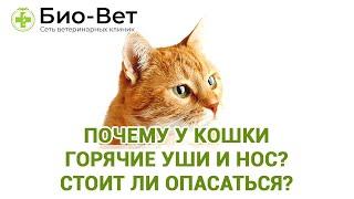Почему у кошки горячие уши и нос? Стоит ли опасаться?  Мнение ветеринара.