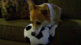 Joey The Welsh Corgi And His Soft Soccer Ball