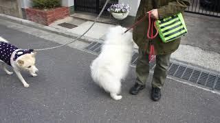 仲良しワンコとお散歩しようといていたら、琉球犬ミックスの仲良しさん...