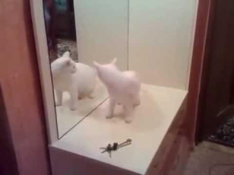 Un chat blanc se bat contre son reflet dans un miroir for Miroir des chats
