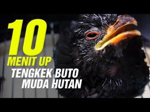 GOPRO HERO 5 : 10 Menit Up Suara TENGKEK BUTO Ampuh Untuk Master LOVEBIRD MURAI BATU