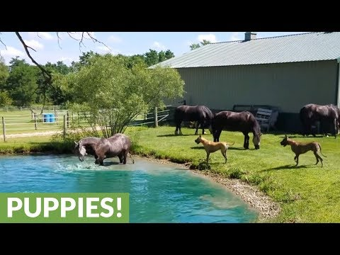 Great Danes captivated by water-splashing horses