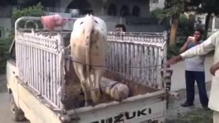 danger cow for qurbani