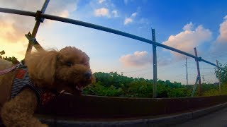 ラテ 愛犬のストリー Latte - a dog's story GOPRO HERO6: Latte Dog's ...