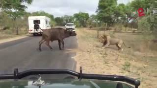 Lion fights the bull...