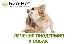 Лечение пиодермия у собак и Чем опасна пиодермия у собак Рассказ и советы ветеринарного врача
