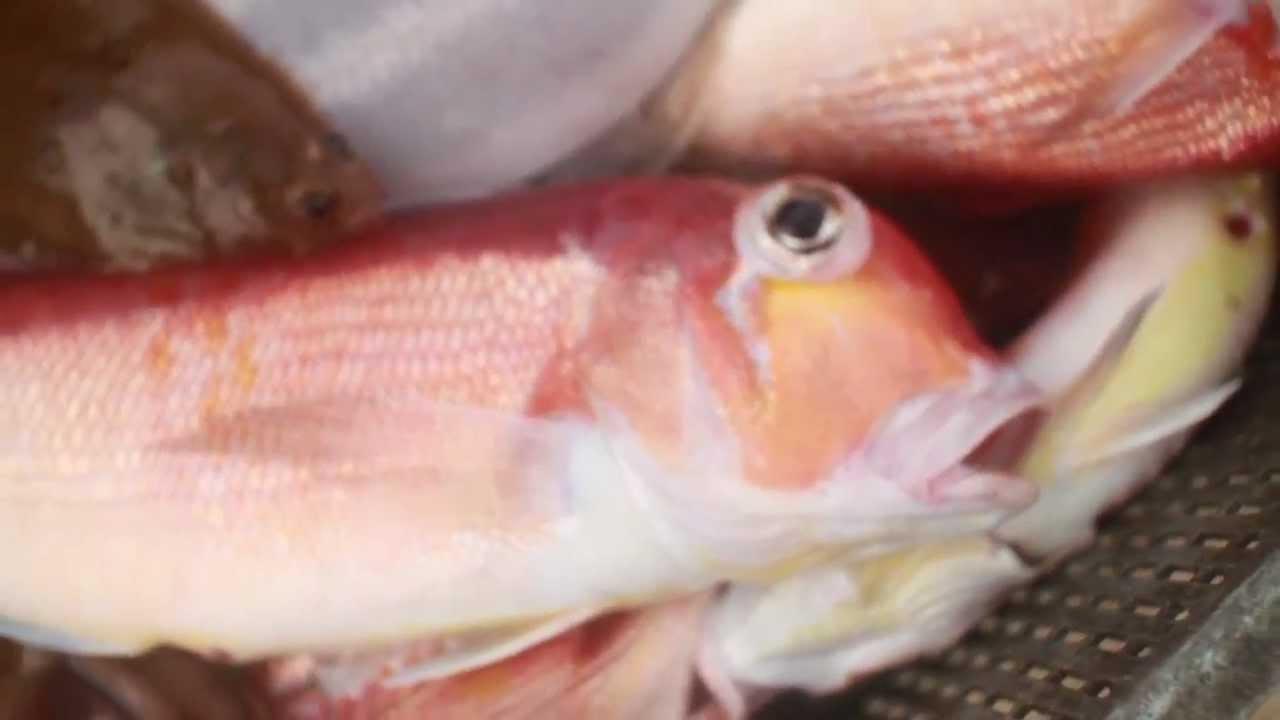 り丹後 京都丹後 甘鯛の延縄漁 - YouTube