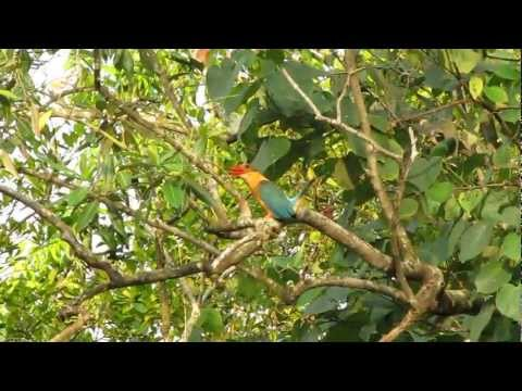 Call Of The Stork-billed Kingfisher @ Pasir Ris Park-singapore