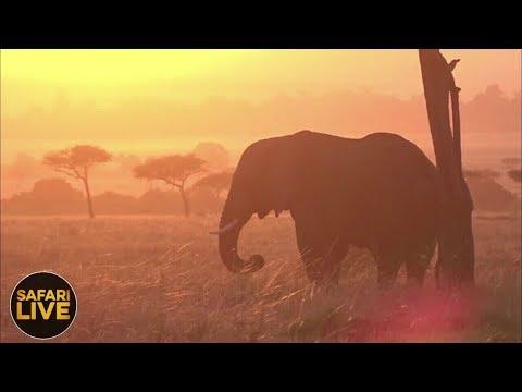 safariLIVE - Sunrise Safari - September 8, 2018