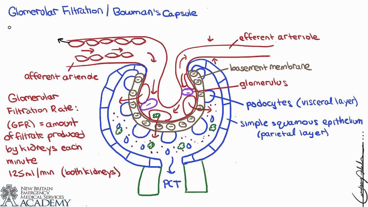 bowman's capsule - youtube, Human Body