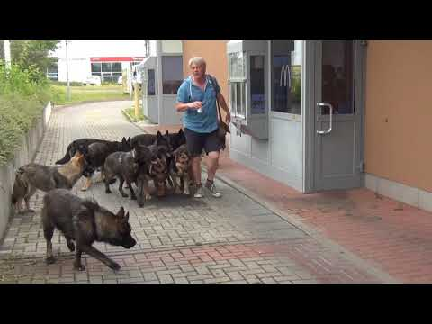 Shepherd dogs to go