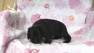 関西アメリカンコッカースパニエル子犬販売 http://www.at-breeder.net/...