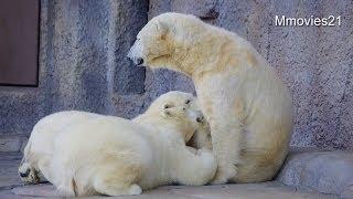 母の傍にいたいこぐま~Polar Bear cubs love mother