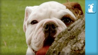 30 Seconds of Adorable Bulldog Puppies - Puppy Love