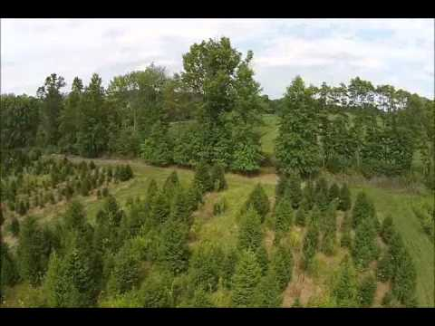 Reasons to Plant Norway Spruce Trees