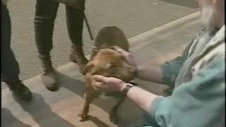 Stafford and Irish Bull terrier April 1995 5 min clip