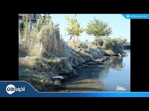 شبكة عنكبوتية عملاقة تغطي شاطئ يوناني  - نشر قبل 5 ساعة