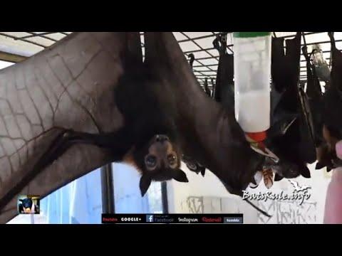 Rehab | Orphan | Spectacles Bat Megabat (Flying-fox) (Fruit bat) babies male/female