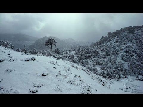 ARAUCARIA ARAUCANA - Trailer